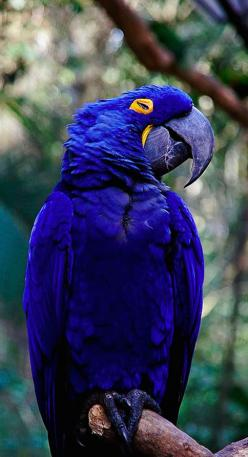 Beautiful hyacinth macaw at Parque das Aves in Parana, Brazil • photo: annette.beatriz on Flickr: Beautiful Hyacinth, Blue Animal, Beautiful Birds, Exotic Animal, Hyacinth Macaw, Blue Macaw
