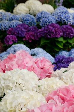 Beautiful hydrangeas...I'm surprised to see so many different colors together; these must be cut arrangements, yes?: Favorite Flowers, Color, Gardens, Flower Power, Things, Hydrangea, Beautiful Hydrangea, Hydrangeas