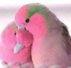 Beautiful love birds - a gorgeous creation.: Animals, Sweet, Nature, Color, Creature, Pink Birds, Beautiful Birds, Pretty
