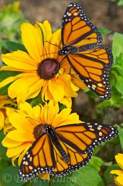 Beautiful Monarchs  (picture by Dave Welling): Monarch Butterfly, Beautiful Butterflies, Butterfly, Flutterby, Monarch Butterflies, Beautiful Monarchs