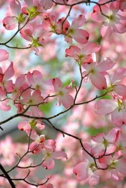 Beautiful pink dogwoods in bloom.  Reminds me of Non & Papa's old house growing up!: Spring Blossom, Pink Blossom, Dogwood Blossoms, Beautiful Pink, Pink Dogwood, Garden, Flower