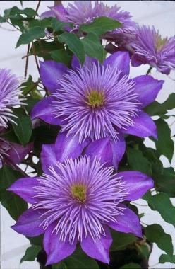 Beautiful purple clematis are always an inspiration! #KnittingGuru http://www.KnittingGuru.etsy.com: Crystals, Purple Flowers, Beautiful Flowers, Garden, Flower