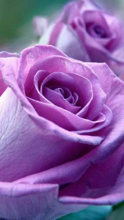 Beautiful Rose - it's calls a Sterling Silver Rose and it's my favorite....the smell is amazing: Lavender Rose, Beautiful Roses, Sterling Silver, Beautiful Flowers, Purple Roses, Silver Roses, Purple Flower