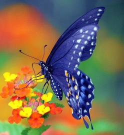 Beautiful - Tips for planning a butterfly garden. #dan330 http://livedan330.com/2015/07/20/planning-a-butterly-garden/: Beautiful Butterflies, Butterfly, Blue Butterfly, Beauty, Animal