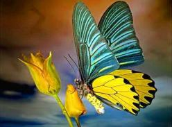 Beautiful two colored butterfly: Beautiful Butterflies, Yellow Rose, Yellow Butterfly, Blue Yellow, Butterfly Moth, Animal