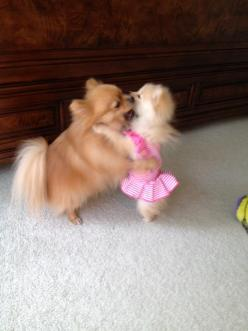 Beauty and the Pomeranian: Obsession Pomeranians, Adorable Animals, Pomeranians Dancing, Animals Dogs, Doggies, Pups Dogs Animals, Lol Cute Pomeranians, Pomeranians April, Pomeranian Puppy