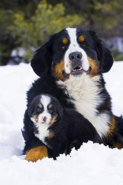 Bernese Mountain dog and puppy - Love this photo !! Started out with one Berner and now have 2 more !!! Love them !!!: Bernese Mountain Dogs, Dogs And Puppies, Dogs Puppies, Puppys, Puppy Bernese, Photo, Friend, Beautiful Dogs, Animal