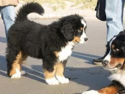 bernese mountain dog: Bernese Mountain Dogs, Animals, Pet, Burmese Mountain Dogs, Baby, Things