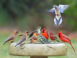 Birdbath Party--M House Finch, 2M,1F Northern Cardinal , M Yellow Rumped Warbler , 2 Cedar Waxwing, aMockingbird and a Mourning Dove. Amazing that they'd be all together in the same place.: Animals, Birdbaths, Nature, Bird Baths, Birdie, Beautiful Bir