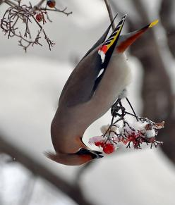 #BIRDS_Birds_birds! Bohemian Waxwing! (maroon under tail, white & yellow borders on wings, grayish belly, coloured face and gray body) http://dunway.com/bird_package/index.html: Animals, Winter, Nature, Cedarwaxwing, Cedar Waxwing, Beautiful Birds, Ph