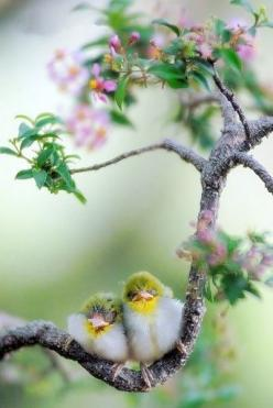 .birds in the blossoms: Spring Birds, Animals, Sweet, Nature, Happy Couple, Beautiful Birds, Baby, Photo