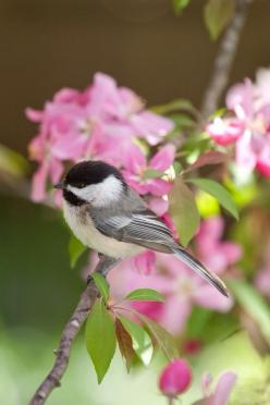 Birds: My favourite birds along with hummingbirds. Chickadees are so so tame, they talk to you, if they know you'll feed them. I had a few that came within three ft. of me. I loved them so, It was a whole nestful in a dogwood tree.: Animals, Fowl, Bea
