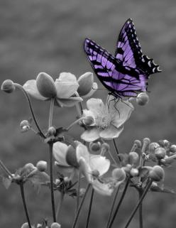 Black and White Purple Butterfly On Flower Wall Art Matted Picture: Wall Art, Butterfly, Butterflies, Black And White, Matted Picture, Color Splash, Black White, Flower Wall, Blackwhite