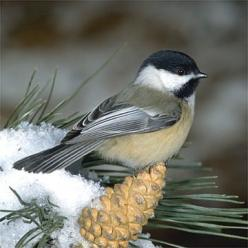 Black Capped Chickadee, North America, Chickadee calls are complex and language-like, communicating information on identity and recognition of other flocks as well as predator alarms and contact calls. The more dee notes in a chickadee-dee-dee call, the h