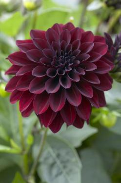 Black Dahlia Flower/Arabian Nights Dahlia: Dahlia Flowers, Arabian Night, Dahlia Ronaldo, Color, Dahlias, Google Search, Wedding Flowers, Black Dahlia, Garden