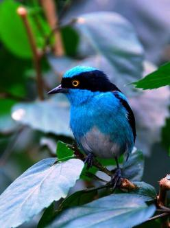 Black-faced Dacnis, Amazon  ♥ ♥ www.paintingyouwithwords.com: Colorful Birds, Animals, Black Faced Dacnis, Beautiful Birds