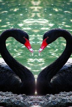 Black Swans Heart.  Go to www.YourTravelVideos.com or just click on photo for home videos and much more on sites like this.: Australian Black, Animal Kingdom, Swan Heart, Happy Valentine, Birds Swans, Animals Birds, Beautiful Birds