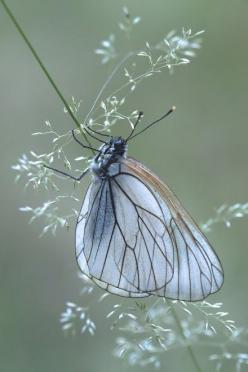 Black Veined White Butterfly: Butterflies Dragonflies, Beautiful Butterflies, Animals Butterflies, Groot Geaderd, White Butterfly