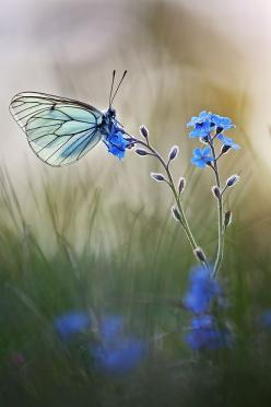 Black-veined White by Christian Rey on 500px: Beautiful Butterflies, Blue Butterfly, Nature, Blue Flower, Animal
