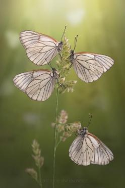 Black-Veined White. Surreal....delicate fairy wings drenched in sunlight. By Igor Siwanowicz.: Beautiful Butterflies, Igor Siwanowicz, Butterfly, Animals, Bugs, Macro Photography, Art, Flutterby