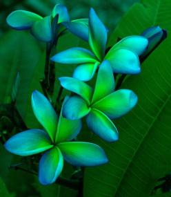 Blue, blue green, green: Idea, Green Plumeria, Blue Green, Colors, Beautiful Flowers, Tattoo, Garden, Color Combination, Tropical Flowers