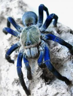 Blue Bottle Tarantula: Animals, Spiders, Creature, Cobalt Blue, Bottle Tarantula, Blue Tarantula, Blue Bottle