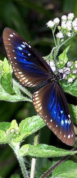 BLUE BUTTERFLIES:  Plain Blue Crow butterfly (Euploea modesta): Beautiful Butterflies, Beautiful Flower, Flutterby, Butterfly Moth, Photo, Animal