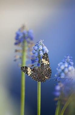 Blue Butterfly on Blue Muscari: Photos, Beautiful Butterflies, Butterflies Dragonflies, Beautiful Blue, Blue Butterfly, Flutterby, Butterfly Moth