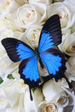 Blue butterfly on white roses by Garry Gay *I like the shape of the wings*: Beautiful Butterflies, Butterfly, Butterfly Tattoo, Blue Butterfly, White Roses, Flutterby