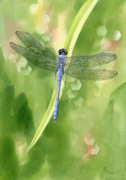 Blue Dragonfly giclee print by maryellengolden on Etsy, $30.00: Blue Dragonfly, Watercolor, Art, Dragonfly Giclee, Animal, Dragonflies