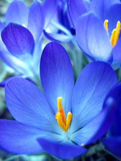 Blue Flower by Tom Szymanski #Photography #Flower: Blue Flowers, Beautiful Blue, Color, Bright Blue, Beautiful Flowers, Garden, Crocus Flower