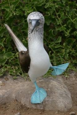 blue footed booby bird. Boobies hunt fish by diving from a height into the sea and pursuing their prey underwater. Facial air sacs under their skin cushion the impact with the water. Boobies are colonial breeders on islands and coasts. They normally lay o
