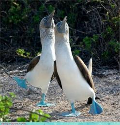blue-footed booby | Blue Footed Booby Dance: Animals, Nature, Blue Footed Booby, Creatures, Dance, Birds