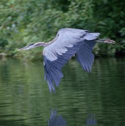 Blue Heron. Yes he's pretty, but he ate all of my koi!  Put net over and he couldn't get them out, but pecked and killed them anyway.NS: Heron Birdsofprey, Flight, Heron Swooping, Blue Heron, Birdsofprey Birdofprey, Favorite Bird, Animal