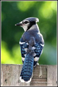 blue jay bold and beautiful, all the other birds seem scared of him.: Birds Owls Hens, Good Things, Thing He S, Birds Awesome, Beautiful Bluejays, Blue Jays, Jays The Birds, Blue Birds, A Birds