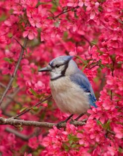 Blue Jay in blooming Crabapple  ♥ ♥ www.paintingyouwithwords.com: Animals, Blooming Crabapple, Poultry, Blue Jays, Beautiful Birds, Photo