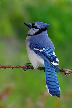 Blue Jay; Loved bird watching. He would lay whole peanuts out and Blue Jays would come and crack them right in front of you that was awesome to see.: Blue Jay Bird, Bluebirds, Animals, Blue Jays, Aves Birds, Beautiful Birds, Blue Birds