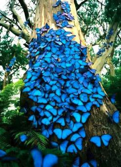 """Blue Morpho butterflies. """"The genetic code that is responsible for the wings of a butterfly is also *the same gene code* for the beating of the human heart. [...] It seems like Nature discovered this information 300 million years ago and then She said"""