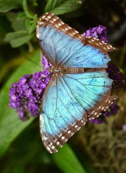 """Blue Morpho Butterfly -   """"What the ♥ has once known it shall never forget."""" ((for the love of Ashley)): Beautiful Butterflies, Butterfly Bush, Blue Butterfly, Flutterby, Blue Morpho, Animal"""