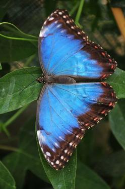 Blue morpho butterfly (Mopho menelaus) can be found in the rain forests of South America (Brazil and Guyana).: Beautiful Butterflies, Flutterby, Пеперуди Butterflies, Blue Morpho, Photo