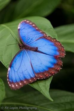 Blue Morpho butterfly Wisley: Beautiful Butterflies, Butterfly, Butterflies Insects, Butterfly Moth, Blue Morpho