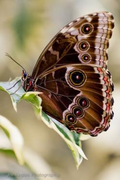 Blue Morpho wings up: Beautiful Butterflies, Butterflies Dragonflies Moths, Blue Butterfly, Butterfly Wings, Blue Morpho