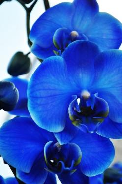 Blue orchids - They have these at a local store and I fell in love with them immediately.  They are amazingly brilliant in color, and a stunning to look at.: Blue Orchids, Idea, Blue Flowers, Beautiful Blue, Color Blue, Beautiful Flowers, Flowers Garden,