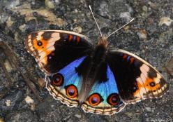 Blue-Pansy - ♂: Beautiful Butterflies, Animals Butterflies Moths, Flutterby, Pansies, Garden, Animal Butterflies Moths, Photo, Birds