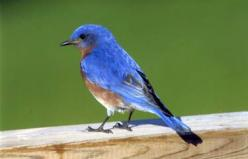 Bluebird Secrets Start bringing bluebirds to your backyard with these tried-and-true tips from Birds & Blooms readers http://www.birdsandblooms.com/Birds/Spring/Tips-to-Attract-Bluebirds: Birdsandbloom Com, Birds Blooms, Attracting Bluebirds, Attrscti