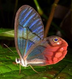 Blushing Phantom (Cithaerias pireta): Beautiful Butterflies, Butterfly, Creatures, Insects Butterflies Photos