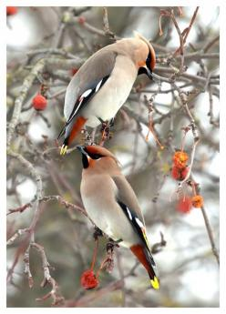 Bohemian Waxwings. My boss at work loves these birds. She brought me outside one day at work just to watch hundreds of them in the trees. God's creatures are all so wonderful!: Cedarwaxwings, Animals, Wax Wing, Beautiful Birds, Bird Watching