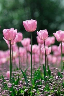 bokeh photography pink flowers Tulips: Pink Flowers, Things Pink, Pretty Pink, Beautiful Flowers, Spring, Garden, Pink Tulips, Flower, Favorite Flower