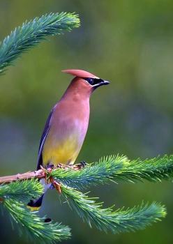 Bombycilla cedrorum aka  cedar waxwing: Color, Cedar Waxwing, Cedarwaxwing, Beautiful Birds, Animal