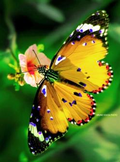 Borboleta pintada butterfly by Bruno Sousa: Butterflies Dragonflies, Beautiful Butterflies, Flutterby